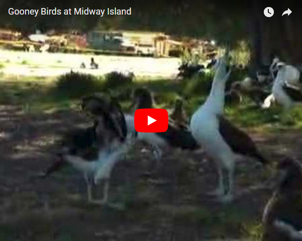 Gooney Birds at Midway Island