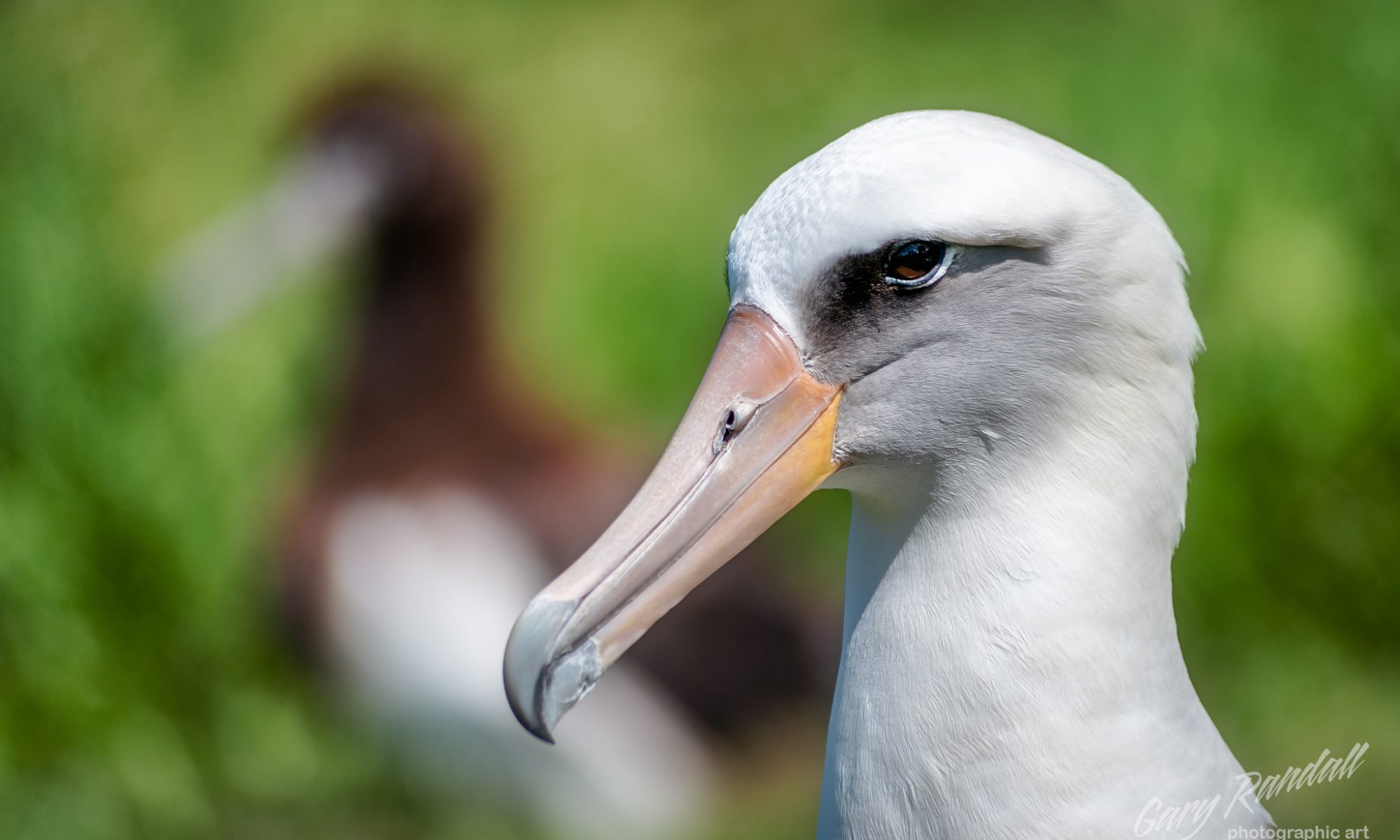 Gooney Bird - Laysan Albatross